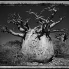 Elaine Ling, <em>Baobab, Tree of Generations #25, Madagascar 2010</em>, 2013
