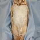 Sara Angelucci, Barn Owl, 2013